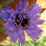 Catananche Caerulea 'Amor Blue' (Catananche caerulea (Cupid's dart))