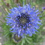 Jasione_blue_light_