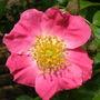 Rosa   '  American Pillar '