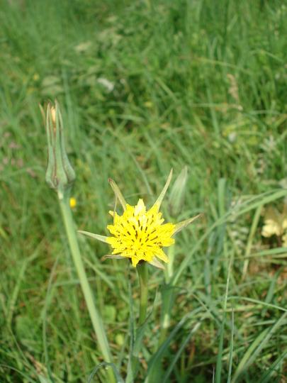 Jack-go-to-bed-at-noon (Tragopogon pratensis (Barba Cabruna))