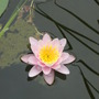 first of the nymphaea