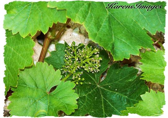 GRAPEVINE (Grapevine)