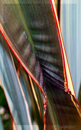 Phormium 'Alison Blackman' (Phormium tenax (New Zealand flax))