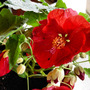 Abutilon striatum[Flowering Maple] (Abutilon striatum)