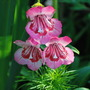 Penstemon Pink. (Penstemon)