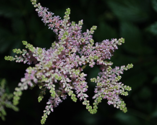 Astilbe flower taken in early evening... (Astilibe chinensis pumila)
