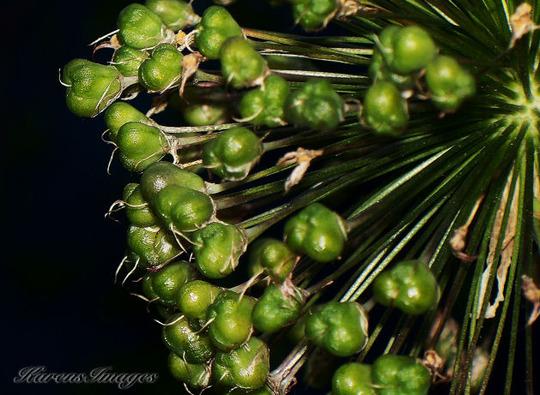 Allium Purple Sensation (seed head) (Allium)