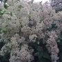 Pyracantha shrub (pyracantha)