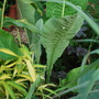 Inula leaves, just waiting for the flowers....... (Inula orientalis)