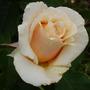adriana (Rosa hybrid T)
