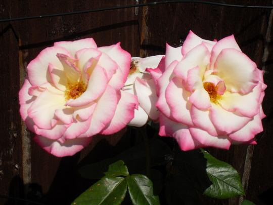 Rose (Climbing Rose)