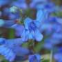 Blue, very blue! (Penstemon heterophyllus (Penstemon))