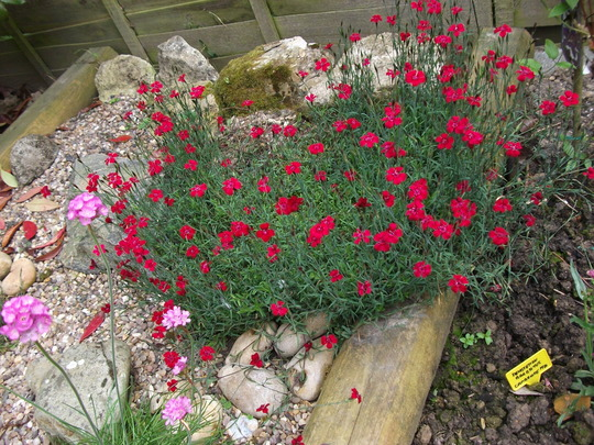 Dianthus deltoides flashing light in scree bed (Dianthus deltoides flashing light)