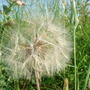 Tragopogon seed head (Tragopogon pratensis (Barba Cabruna))