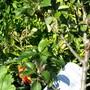 100_2856.jpg (Malus Domesticus (Red Windsor))