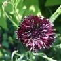 Black_cornflower
