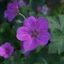 Geranium x riversleaianum 'Russell Prichard' (Geranium x riversleaianum (Hardy geranium))