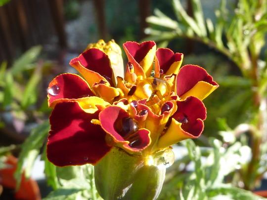 French Marigold.....
