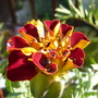French Marigold.....