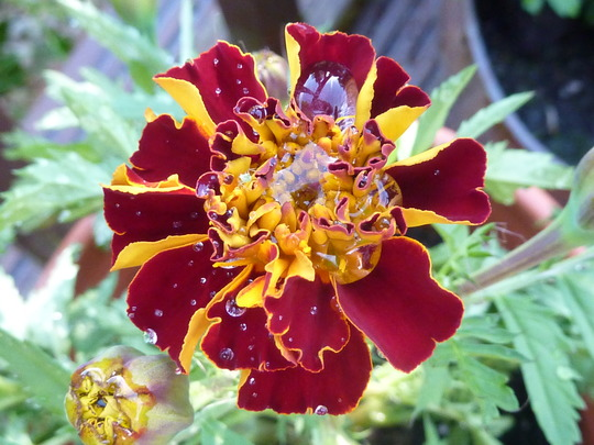 French Marigold from seed