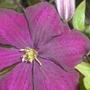 Lilac_tree_2_