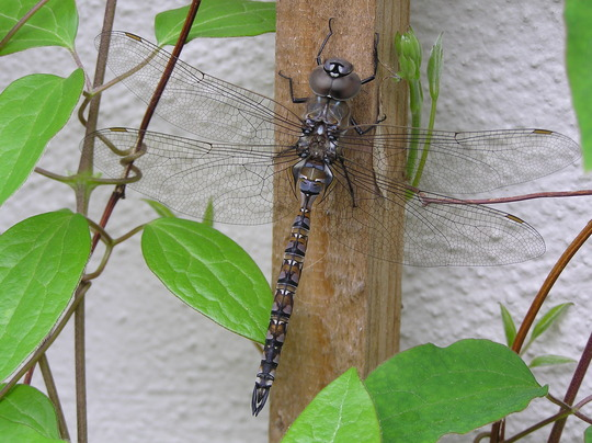 Dragonfly on clematis vine