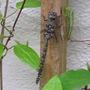 Honeyshot_dragonfly