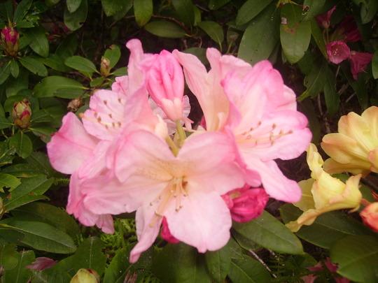pink rhodie (rhododendron)