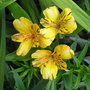 Alstroemeria_orange_glory_2010