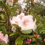 pale pink rhodie with spotted details (rhododendron)