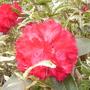 Rhododendron Antoon Van Welie (Rhododendron)