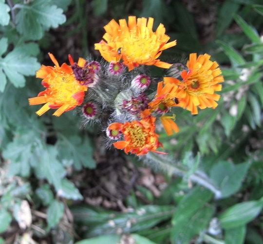 Pilosella aurantiaca - 2010 (Hieracium aurantiacum)