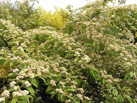Cotoneaster salicifolius 'Rothschildianus' (Cotoneaster salicifolius (Willow-leaved Cotoneaster))
