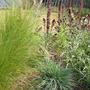 Koeleria glauca (Koeleria glauca (Glaucous Hair-Grass))