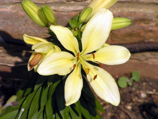 Lilium longiflorum 'Flevo' Yellow (Lilium longiflorum (Easter lily))