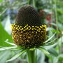 Rudbeckia_green_wizard_