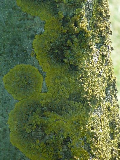 Lichen green (Lichen)