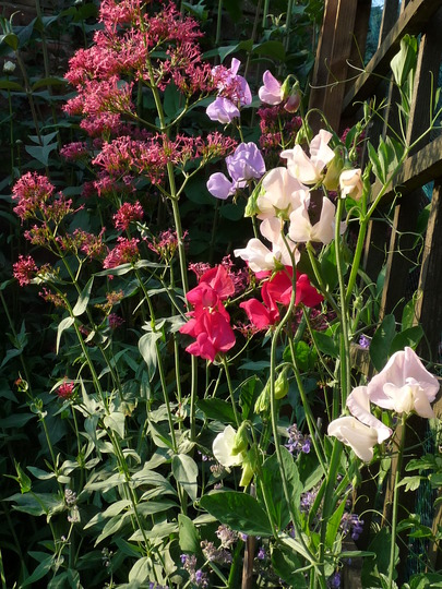 Sweet Peas beginning to flower..... (Lathyrus odoratus (Sweet Pea))