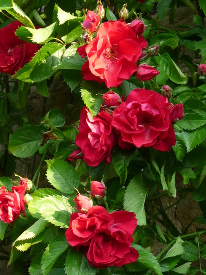 Rambler Paul's Scarlet (Rosa filipes (Rambler rose))