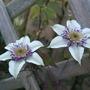 Clematis florida var. sieboldiana (Clematis florida var. sieboldiana)