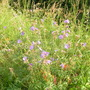 geranium pratense meadow cranesbill