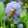 Hoverfly on Ceanothis