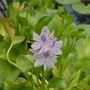 Eichhornia Crassipes.jpg (Eichhornia Crassipes)