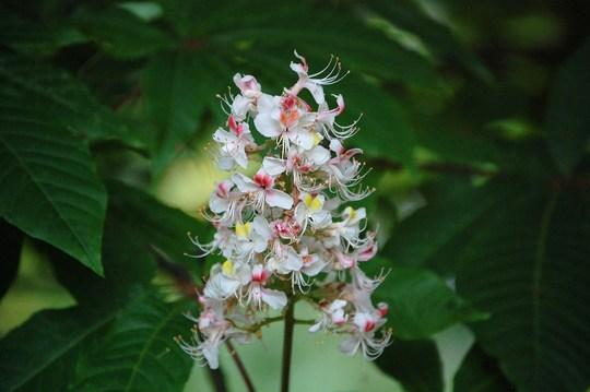 Aesculus Indica (Aesculus Indica)