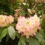 peach rhodie (rhododendron)