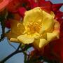 Climbing rose: Masquerade