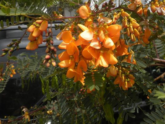 Cassia species?