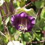 A garden flower photo (Cobaea scandens (Cup and saucer plant))