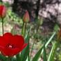 The first tulip opens (Tulipa acuminata (Tulip))