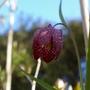 A garden flower photo (fritillaria)